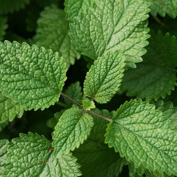 Lemon Balm Herb Heirloom Seeds - Non-GMO, Open Pollinated, Untreated