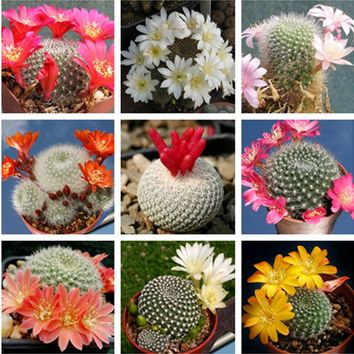 Very Rare Cactus and Succulents seeds 20 pcs Mixed REBUTIA micromeris seeds special import flesh Cactus family Plant seeds