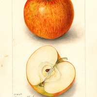 Apples, American Blush (1906)