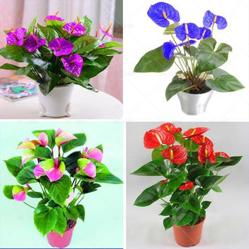 100pcs Bonsai Anthurium  Anthurium andraeanum Linden Araceae perennial indoor evergreen herb flower  for home garden
