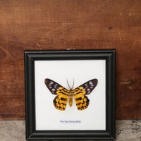 Butterfly Frame - Day-Flying Moth