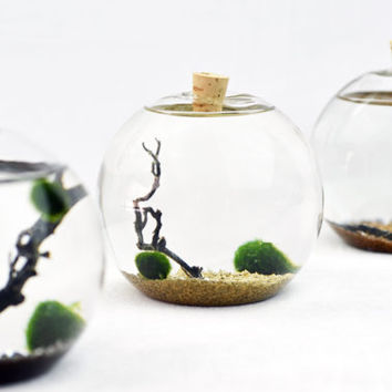 Bubble Terrarium - Marimo - Japanese Moss Ball Aquarium - cork stopper  - sea fan - shells