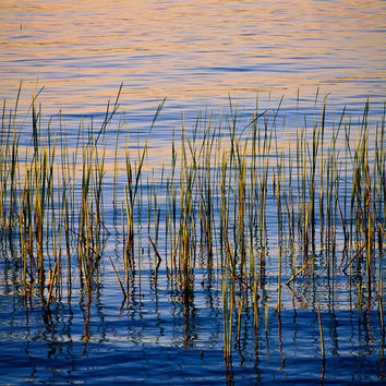 Nature Photography, Reeds in Blue Golden Water, Fine Art Print, Lake, Abstract, Summer, Serene, Home Decor