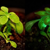 Would you use glowing plants or glo-pigs to replace street lamps? | Green Prophet