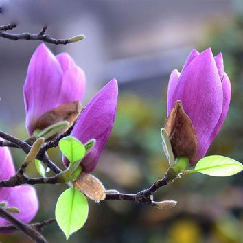 Purple Magnolia Bonsai Balcony Flower Magnolia Potted Seeds DIY Home Garden 120 Particles / lot