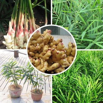 Hot Selling Ginger Seeds Balcony Vegetables Potted Bonsai Plant Seeds Four Seasons Zingiber Seeds Plants 120PCS