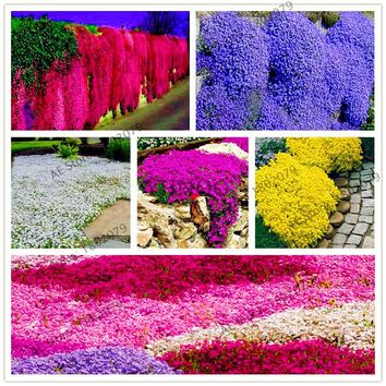 205pcs rare  ROCK CRESS Seeds Climbing plant Creeping Thyme Seeds Perennial Ground cover flower for home garden