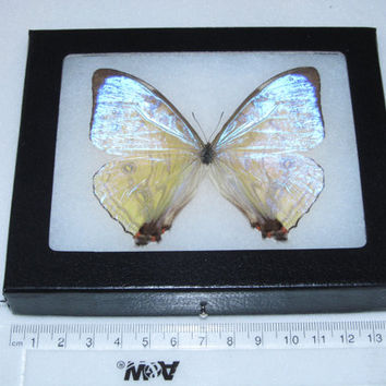 Real peruvian morpho sulkowski framed butterfly insect
