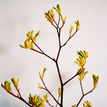 Kate Miss Prints — Kangaroo Paw - 8x10