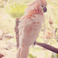 Parrot Photograph - Cockatoo Photo - Nature Bird Art Print - Animal Photography - Delicate Pastel Fluffy Feathers - Wall Decor - Peach Cream