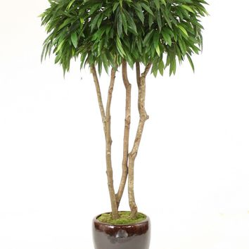 7' Canopy Mango Tree In Black/Brown Glazed Stoneware Pot