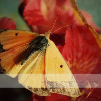 Butterfly Close up -  Nature Photography - Fine Art - Vintage-  - Colias Eurytheme - Orange Sulphur Butterfly