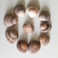 Big Sea Shells/ Cockle Sea Shell Set/ Big Piece Sea Shells/ Sea Shell Pieces/ Large Natural Sea Shells/ Sea Shells Craft/ Bulk Seashell