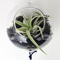 Air Plant Terrarium - Hanging Glass Orb - black reindeer moss - clear sea glass - Home and Garden - Gift Ideas
