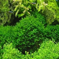 Hot Pellia For Live Fish Moss Fern Aquarium Plant Java Fish Tank Aquatic Seeds Landscape Decoration Ornament 1000 Pcs bag