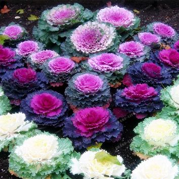 200 PCS Brassica Oleracea Heirloom Cabbage Flower Seeds Kale Ornamental Plant, Red ,White, Purple Color Garden Planting