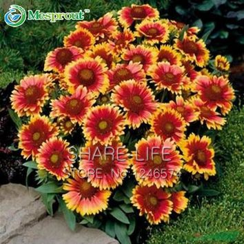 20 seeds/Pack Chrysanthemum seed Gaillardia Pulchella seeds Rare Beauty Flowers Gorgeous Color Beautiful Home Garden Flower
