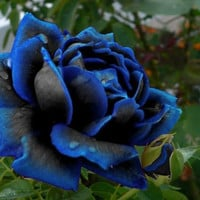 midnight suprime rose