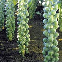 BRUSSEL SPROUTS, LONG ISLAND, HEIRLOOM, ORGANIC, NON GMO SEEDS, DELICIOUS VEGGIE