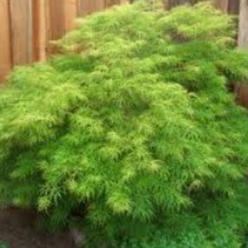 Waterfall green laceleaf weeping japanese maple