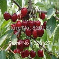 100 Seeds sweet Cherry Seeds. Cherry trees seeds,50 seeds/pack