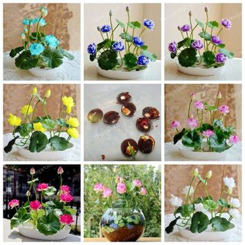 Hot Sale 10 Seeds/Pack Bowl Lotus Seed Hydroponic Plants Aquatic Plants Flower Seeds Perennial Plant For Home Potted Planting