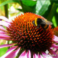 Feed the Bees Mix Heirloom Seeds - Non-GMO, Open Pollinated, Untreated, Flower Seeds, Wildflower