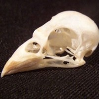 SPARROW SKULL real bird bone animal part for by ChimeraCurio