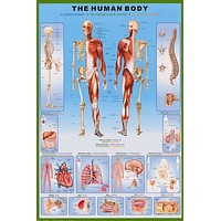 Human Body Anatomy Medical Poster 24x36