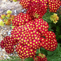 Heirloom 1000 Seeds Achillea millefolium Yarrow Sneezewort Paprika mix Flower Bulk Seeds S009