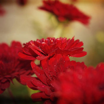 Chrysanthemum Floral Photography Red,Mum,vintage inspired,romantic,gifts under 25,deep rich color,sage green