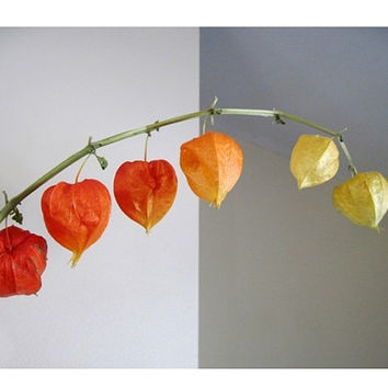 Chinese Lantern Plant Stem, Fine Art Photography, Home & Living, Autumnal, Peaceful, Modern Minimalist Still Life, FREE SHIPPING USA