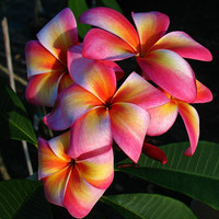 Heirloom 5 Seeds Plumeria mixed Colors Flower Colorful Fresh & High Quality seeds Plumeria Rubra Frangipani T005