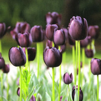 Prechilled TULIP Bulbs 'Queen of the Night' - Prechilled Tulip Bulbs, Ready to Bloom even in Winter, Deep Velvety-Purple