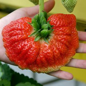 New Cultivated Large Strawberry Fruit Seeds Vegetables Non-GMO Bonsai Pot DIY Home Garden Plants 200pcs