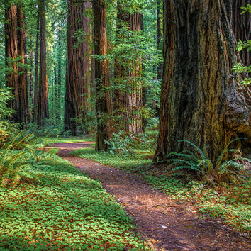 Large Canvas, Redwood Tree Print, California Redwood Canvas, Rustic Art, Susan Taylor, Pacific Northwest Prints, Redwood Forest, Wall Art