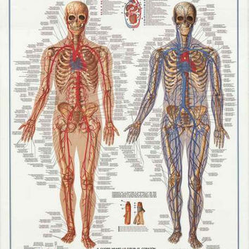Circulatory System Medical Education Poster 27x39