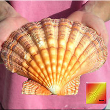 """Orange Lions Paw Scallop 5-6"""" Seashell for Baking Smudging Craft Beach Decor"""