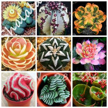 Indoor Mini Bonsai Cactus Seeds Succulent Plants Absorb Radiation 200 Seeds Five-pointed Star Meat Vegetable And Fruit Seeds