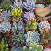 A Collection Of 6 Succulent Plants, Great For Terrarium Projects, Special Events, Centerpieces, Container Gardens