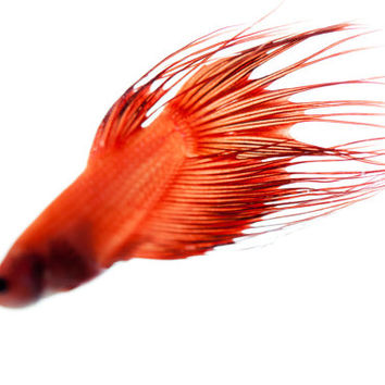 FINISTER - Betta Fish - Art - Photography - Macro - Siamese Fighting Fish - Gift Ideas - Christmas - Fish - Goldfish - Red - Abstract Art