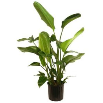 Delray Plants, 9-1/4 in. White bird of Paradise in Pot, 10WHITE at The Home Depot - Mobile