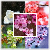 5 Pcs/bag Rare Bonsai Varieties Sakura Seeds DIY Home & Garden Ormental Plants Japanese Cherry Blooms Flower Seeds easy to plant