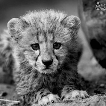 Cheetah Wildlife Photography - Baby Animals - South Africa Nature - Big Cat Kitten - Fine Art Photography Wall Art  - 5x7 8x10 8x12 Print