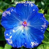 Spotted Jewel Hibiscus, Hibiscus Seeds, 10 Seeds, Perennial Hibiscus, Hibiscus Flower