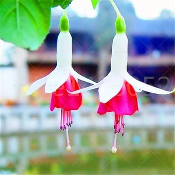 Fuchsia lanterns/flower/flower seeds Indoor balcony living room/Begonia Bell pot flower seeds 100pcs/bag seeds.Potted plants