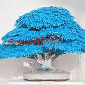 20pcs blue maple seeds chinese rare blue bonsai maple tree seeds  Bonsai Plants Trees for flower pot planters