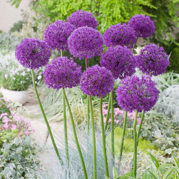 10 Allium 'Purple Sensation'-Ornamental Onion bulbs-3ft. Tall plants-big ball-shaped flowers-EASY TO GROW-butterfly friendly! Deer Resistant