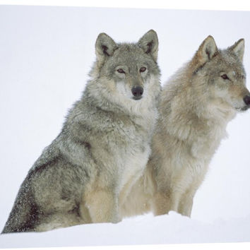 Timber Wolf Portrait of Pair Sitting in Snow, North America