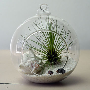 Air plant terrarium // Tillandsia Fillifolia // Living Home Decor // Indoor Garden // White Sand // Shells